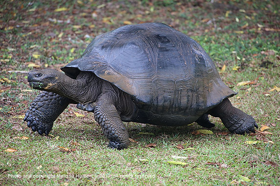 Galapagos-Giant Tortoise-1-w.jpg