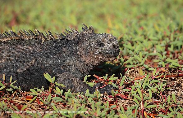 Galapagos-Marine Iguana-5-w.jpg