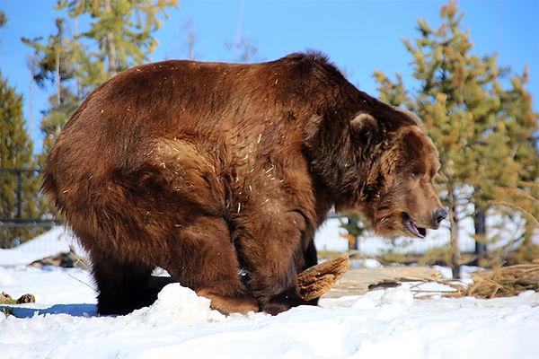Sam-Alaskan Grizzly Bear-Bear and Wolf S