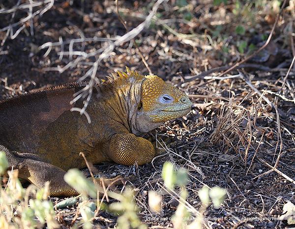 Galapagos-Land Iguana-2-w.jpg