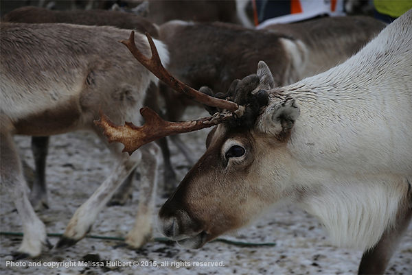 Reindeer-Sami Farm-Tromso-w.jpg