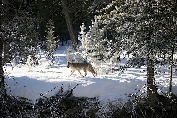 Coyote-Yellowstone National Park-1.jpg