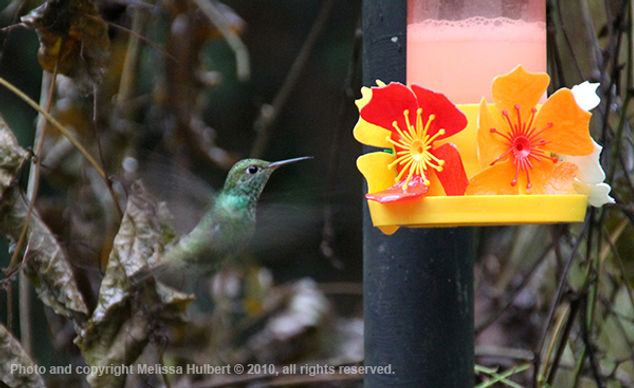 Hummingbird-Parque das Aves-Brazil-1-w.j
