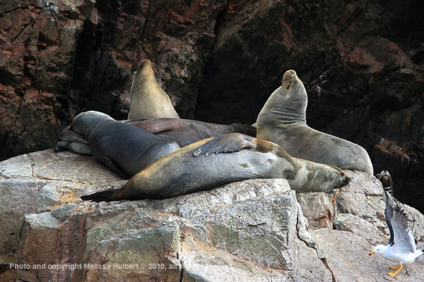 Sea Lions_Ballestas Islands_Peru-1-w.jpg