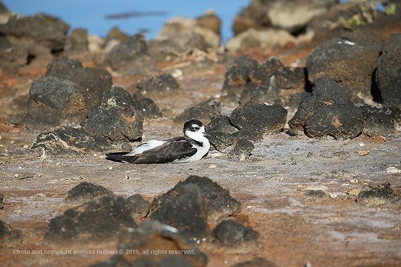 Galapagos-Black-necked Stilt-2-w.jpg