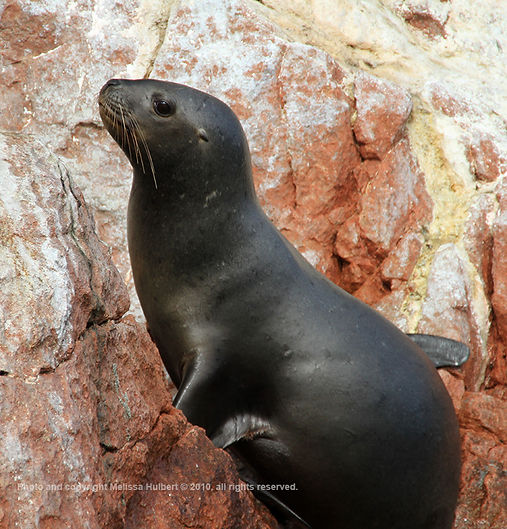 Sea Lions_Ballestas Islands_Peru-5-w.jpg