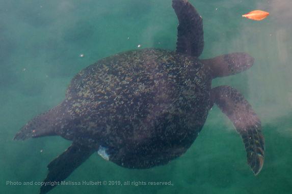 Galapagos-Green Turtle-1-w.jpg