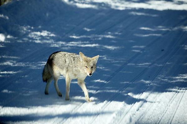 Coyote-Yellowstone National Park-2.jpg