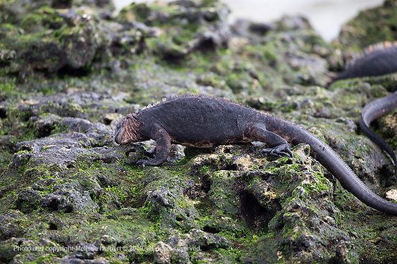 Galapagos-Marine Iguana-4-w.jpg