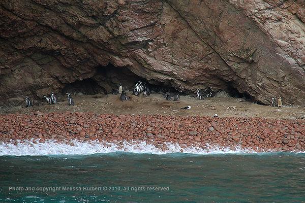 Humboldt Penguins_Ballestas Islands_Peru