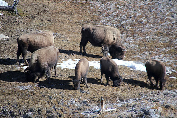 Bison-Yellowstone National Park-1.jpg