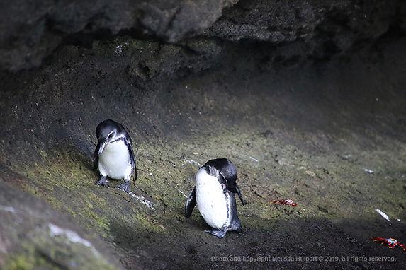 Galapagos-Penguins-2-w.jpg