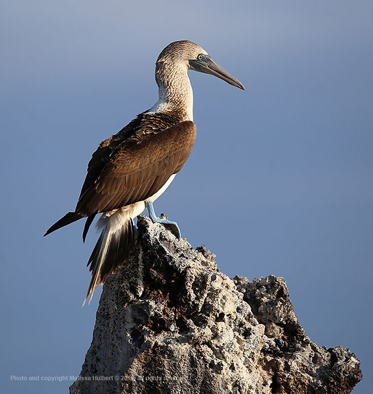 Galapagos-Blue-footed Booby-1-w.jpg