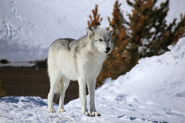 Wolf-Bear and Wolf Sanctuary-West Yellow