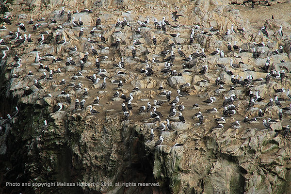 Peruvian Booby_Ballestas Islands_Peru-1-