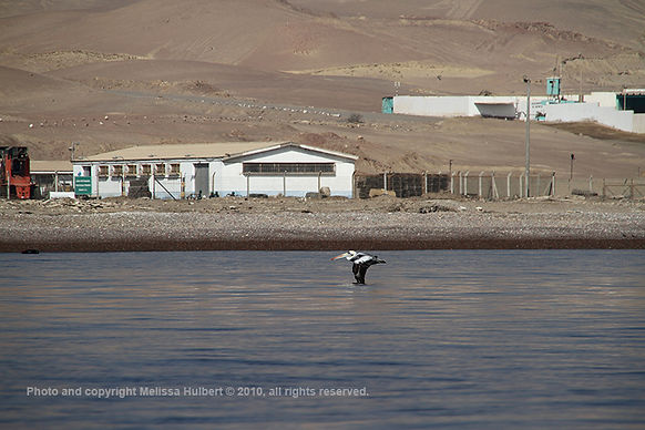 Peruvian Pelican_Ballestas Islands_Peru-