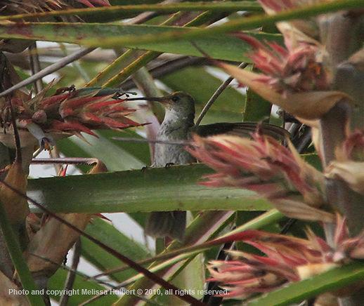 Hummingbird-Parque das Aves-Brazil-2-w.j