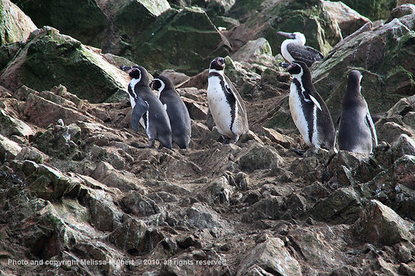 Humboldt Penguins_Ballestas Islands_Peru