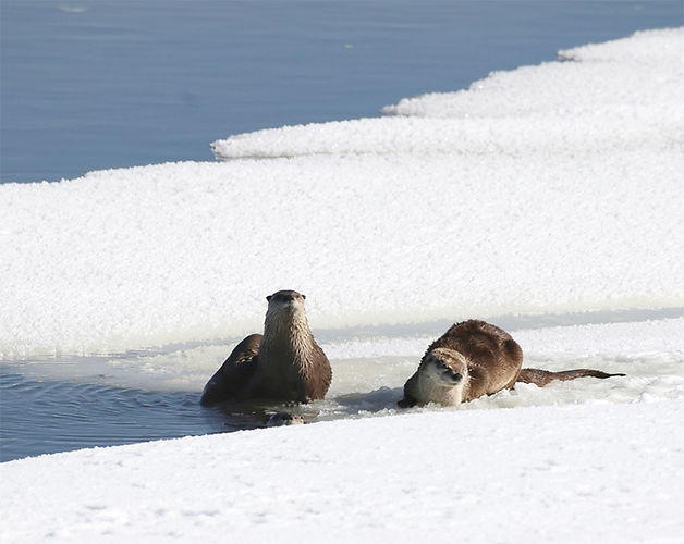 Otters-Yellowstone National Park-2.jpg