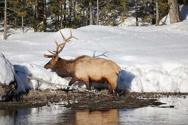 Elk-Yellowstone National Park-3.jpg
