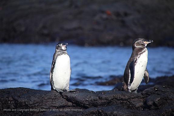 Galapagos-Penguins-3-w.jpg