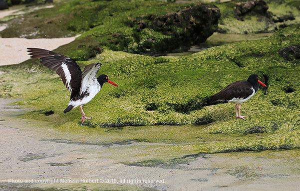 Galapagos-American Oystercatcher-1-w.jpg