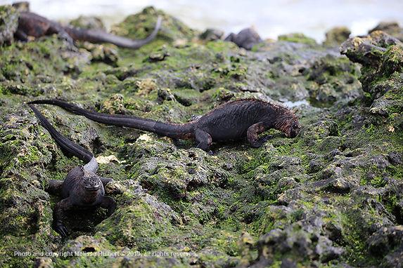 Galapagos-Marine Iguana-3-w.jpg