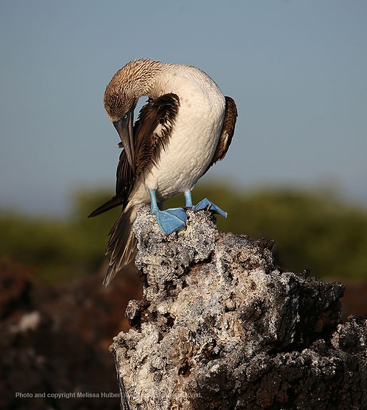 Galapagos-Blue-footed Booby-3-w.jpg