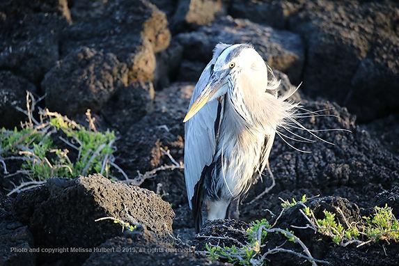 Galapagos-Great Blue Heron-2-w.jpg