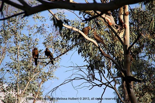 Wedge-Tailed Eagles-Telegraph Station-Al