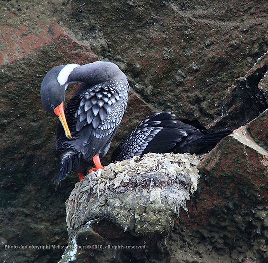 Red-legged Cormorant_Ballestas Islands_P