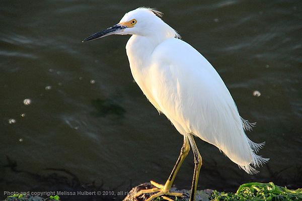Paracas_Peru_Snowy Egret-4-w.jpg