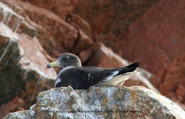 Band-tailed Gull_Ballestas Islands_Peru-