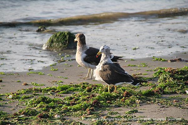 Paracas_Peru_Gulls-w.jpg