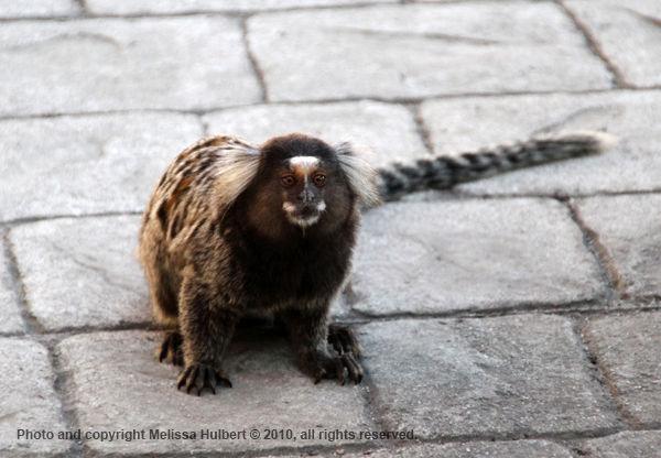 Mamaset Monkey-Sugarloaf Mountain-Brazil
