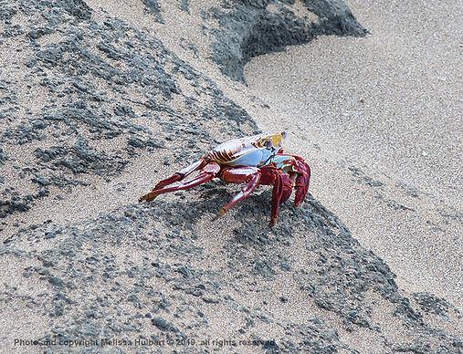 Galapagos-Sally Lightfoot Crab-1-w.jpg