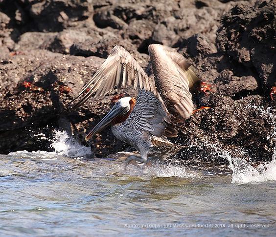 Galapagos-Brown Pelican-2-w.jpg