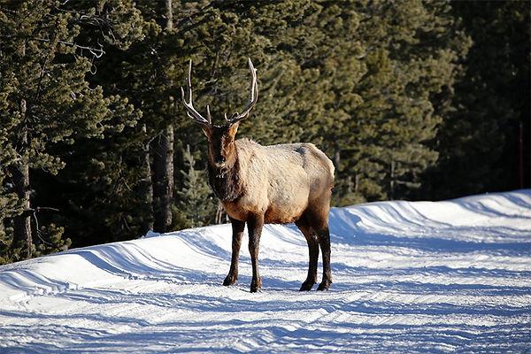 Elk-Yellowstone National Park-1.jpg
