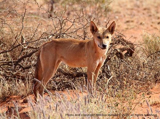 Dingo near Henbury-w.jpg