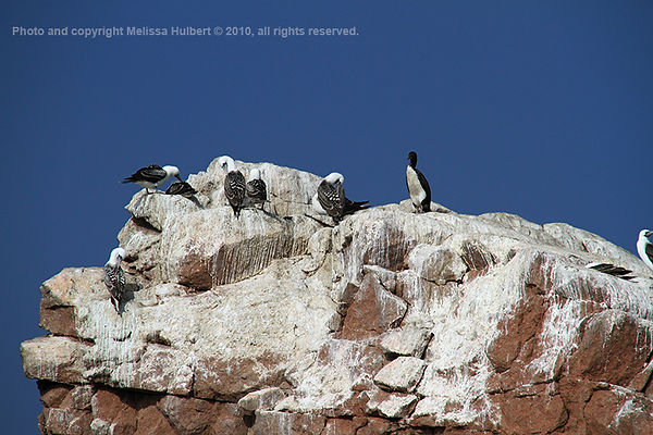 Peruvian Booby_Ballestas Islands_Peru-4-