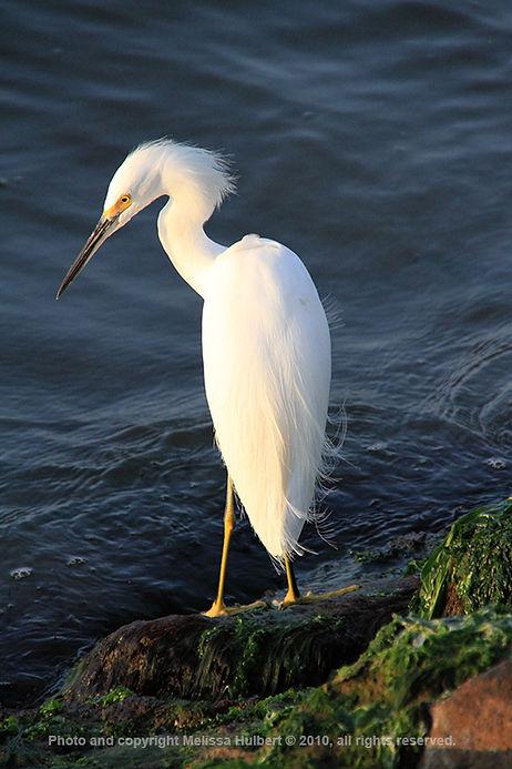 Paracas_Peru_Snowy Egret-3-w.jpg