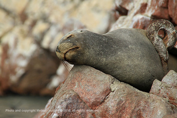 Sea Lions_Ballestas Islands_Peru-4-w.jpg