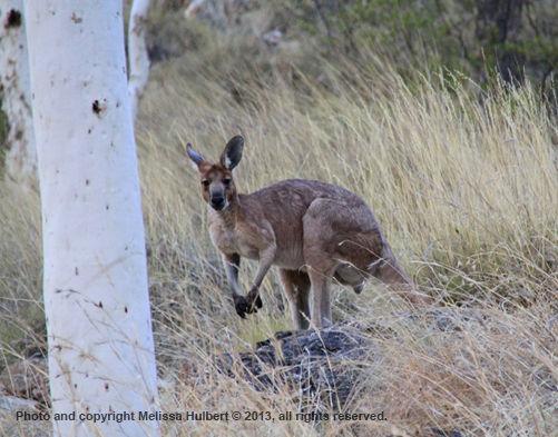 Kangaroo-2-Ormiston Gorge-w.jpg
