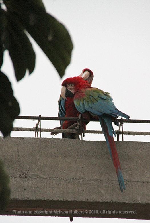 Macaws_Casma_Peru.jpg