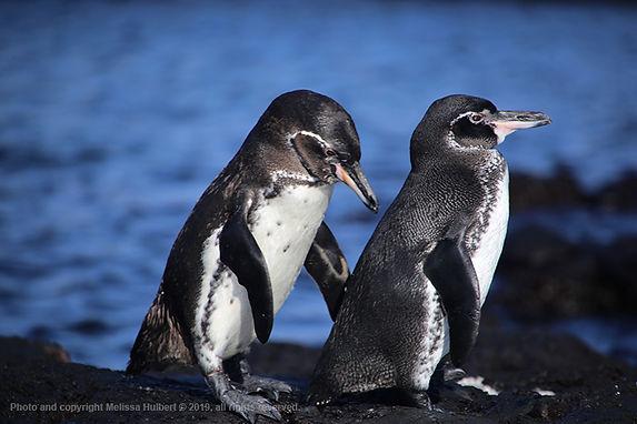 Galapagos-Penguins-4-w.jpg