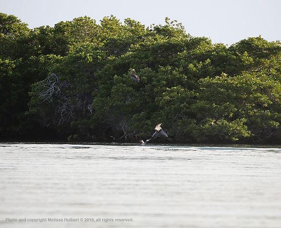 Galapagos-Brown Pelican-4-w.jpg