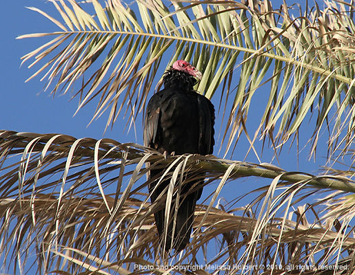 Paracas_Peru_Turkey Vulture-w.jpg