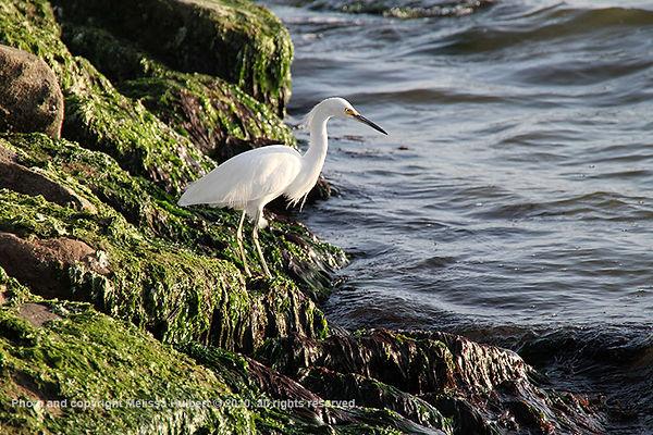Paracas_Peru_Snowy Egret-1-w.jpg