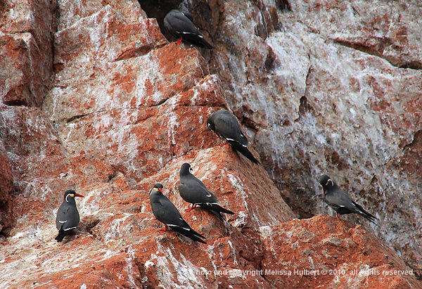 Inca Terns_Ballestas Islands_Peru-1-w.jp