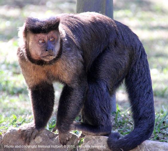 Capaching Monkey-Rio de Janeiro-Brazil-2
